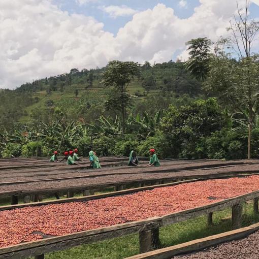 Kaffeeplantage in Rwanda